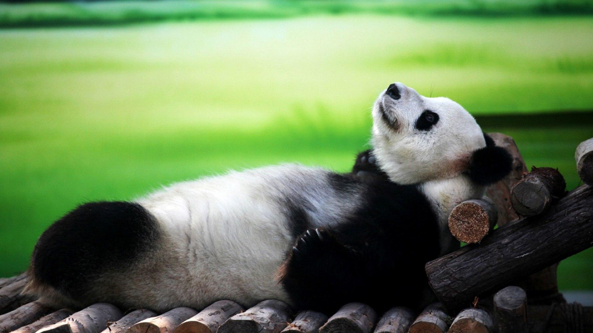 Панды не мишки. Они – мимимишки!