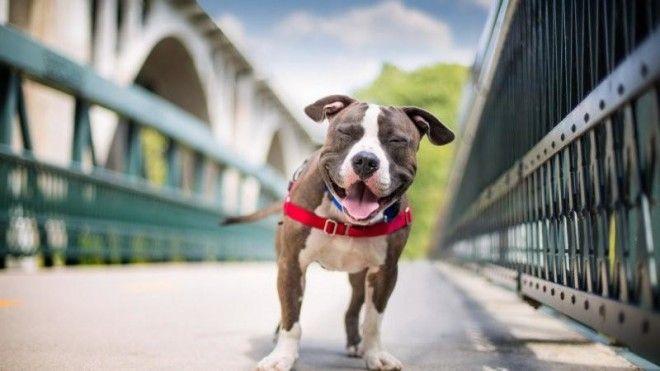 7 причин считать стаффордов лучшими собаками в мире